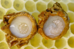 Royal jelly 300x200 Royal jelly production Tentorium
